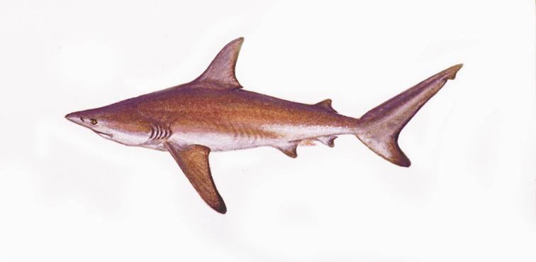 「サメの進化 エイ」の画像検索結果